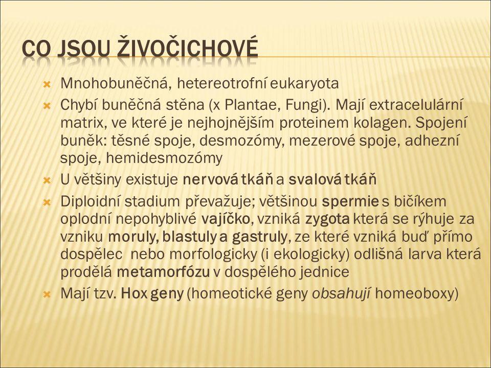  Protostomia (=prvoústí) – např.