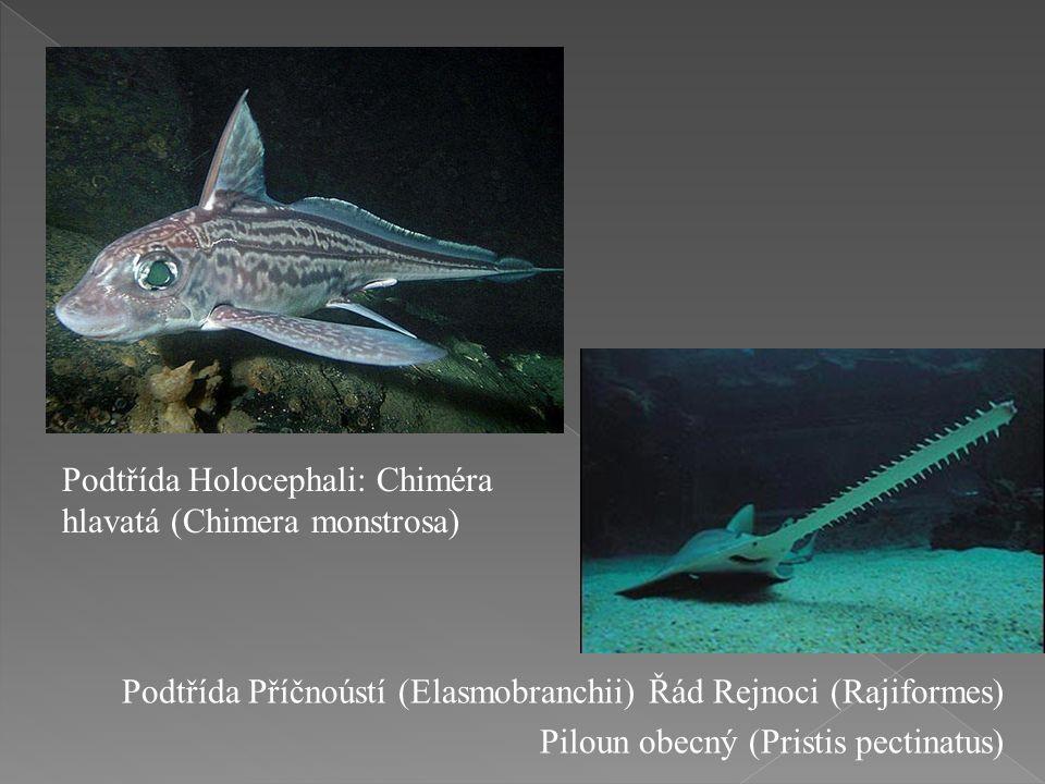 Podtřída Holocephali: Chiméra hlavatá (Chimera monstrosa) Podtřída Příčnoústí (Elasmobranchii) Řád Rejnoci (Rajiformes) Piloun obecný (Pristis pectinatus)