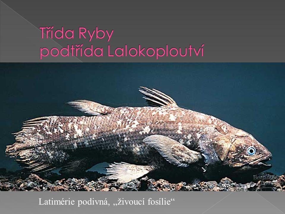 """Latimérie podivná, """"živoucí fosílie"""