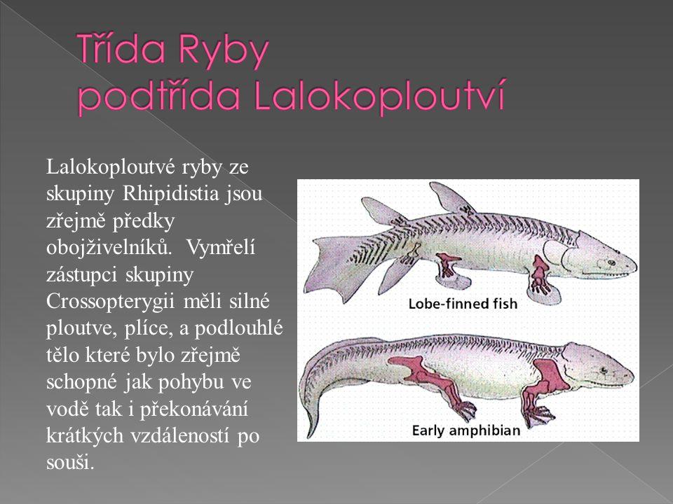 Lalokoploutvé ryby ze skupiny Rhipidistia jsou zřejmě předky obojživelníků.