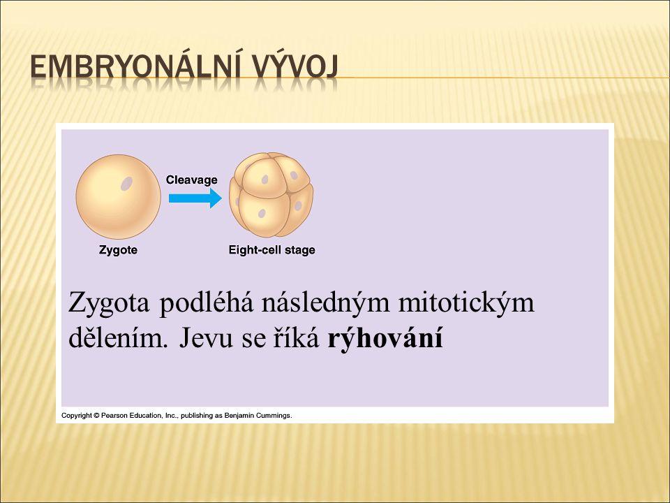 Zygota podléhá následným mitotickým dělením. Jevu se říká rýhování