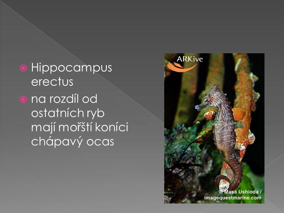 Hippocampus erectus  na rozdíl od ostatních ryb mají mořští koníci chápavý ocas