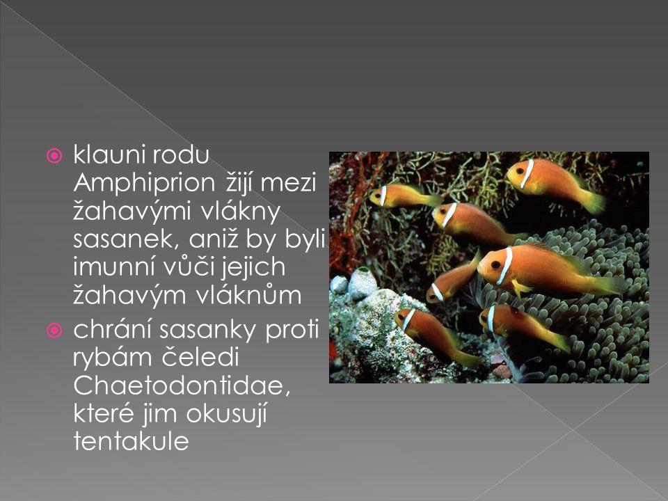  klauni rodu Amphiprion žijí mezi žahavými vlákny sasanek, aniž by byli imunní vůči jejich žahavým vláknům  chrání sasanky proti rybám čeledi Chaetodontidae, které jim okusují tentakule