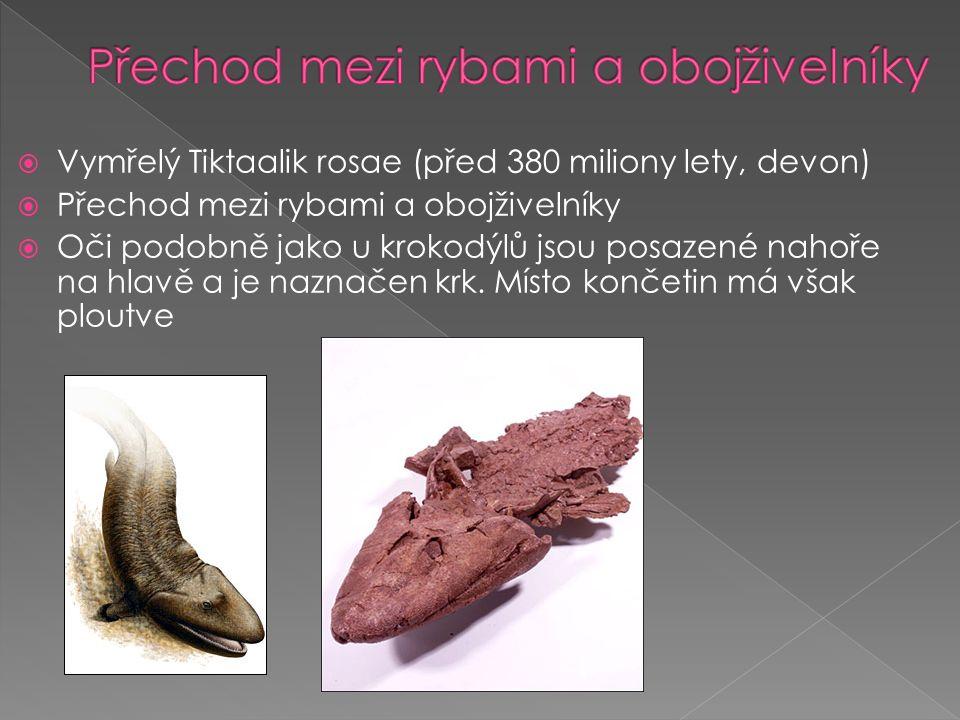 Vymřelý Tiktaalik rosae (před 380 miliony lety, devon)  Přechod mezi rybami a obojživelníky  Oči podobně jako u krokodýlů jsou posazené nahoře na hlavě a je naznačen krk.