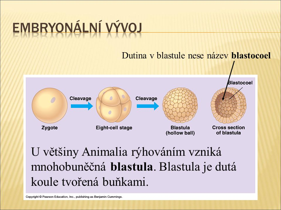U většiny Animalia rýhováním vzniká mnohobuněčná blastula.