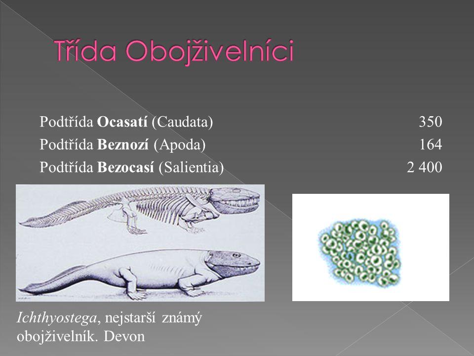 Podtřída Ocasatí (Caudata)350 Podtřída Beznozí (Apoda)164 Podtřída Bezocasí (Salientia) 2 400 Ichthyostega, nejstarší známý obojživelník.