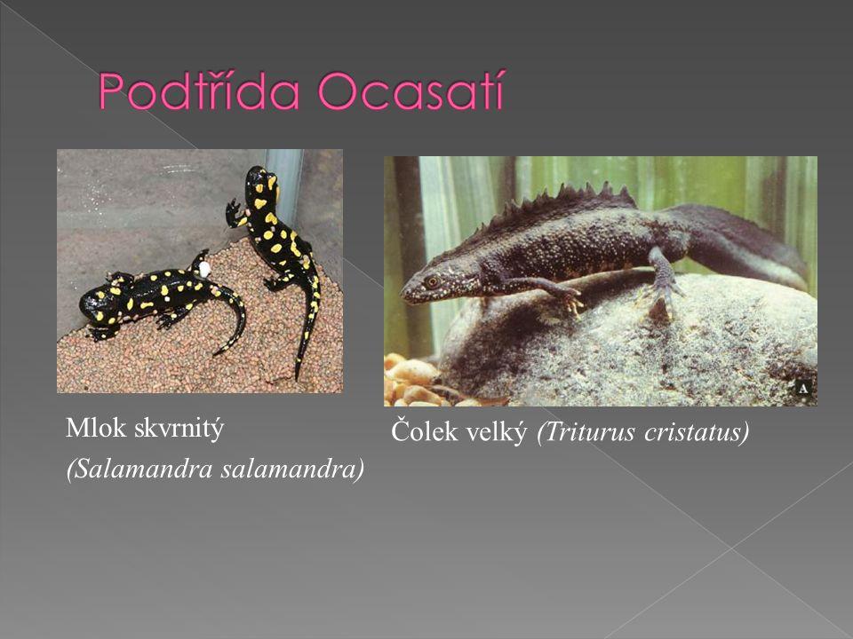 Mlok skvrnitý (Salamandra salamandra) Čolek velký (Triturus cristatus)