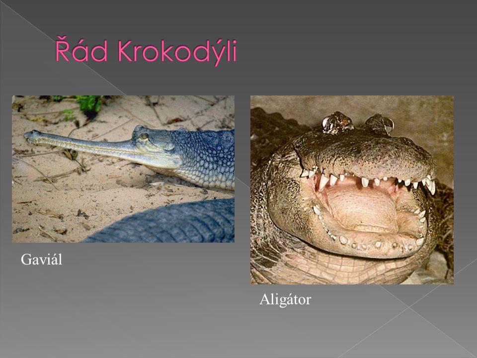 Gaviál Aligátor