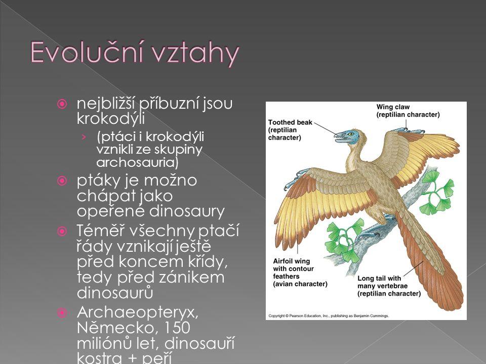  nejbližší příbuzní jsou krokodýli › (ptáci i krokodýli vznikli ze skupiny archosauria)  ptáky je možno chápat jako opeřené dinosaury  Téměř všechny ptačí řády vznikají ještě před koncem křídy, tedy před zánikem dinosaurů  Archaeopteryx, Německo, 150 miliónů let, dinosauří kostra + peří