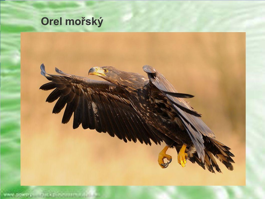 Orel mořský