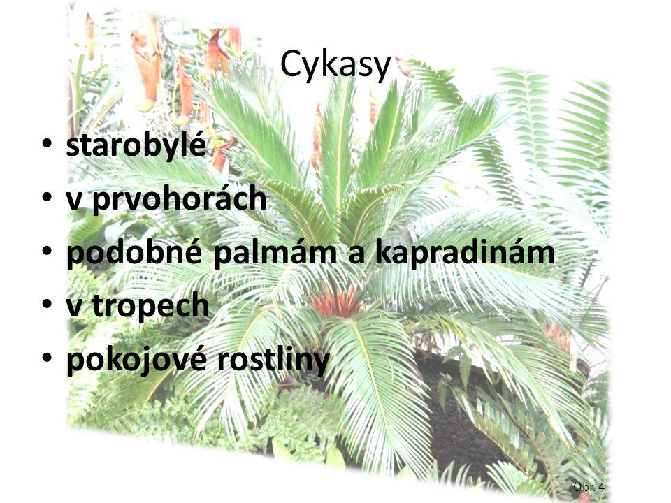 Cykasy starobylé v prvohorách podobné palmám a kapradinám v tropech pokojové rostliny Obr. 4