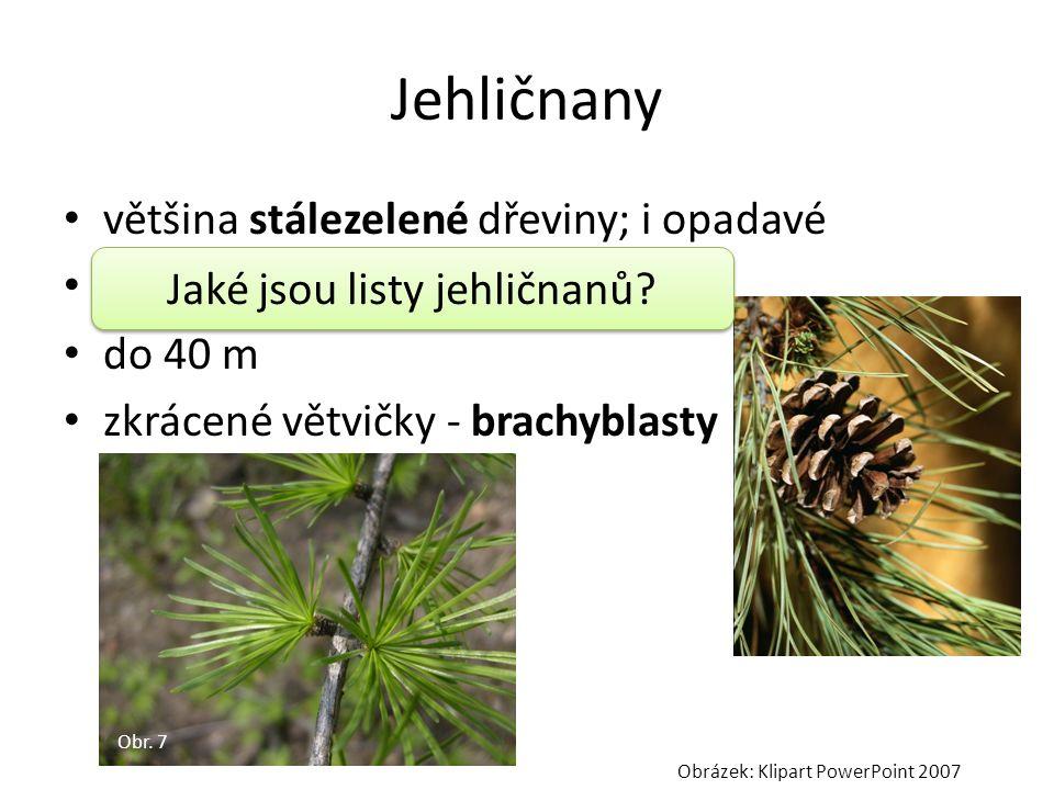 Jehličnany většina stálezelené dřeviny; i opadavé listy – jehlicovité do 40 m zkrácené větvičky - brachyblasty Obr. 7 Obrázek: Klipart PowerPoint 2007