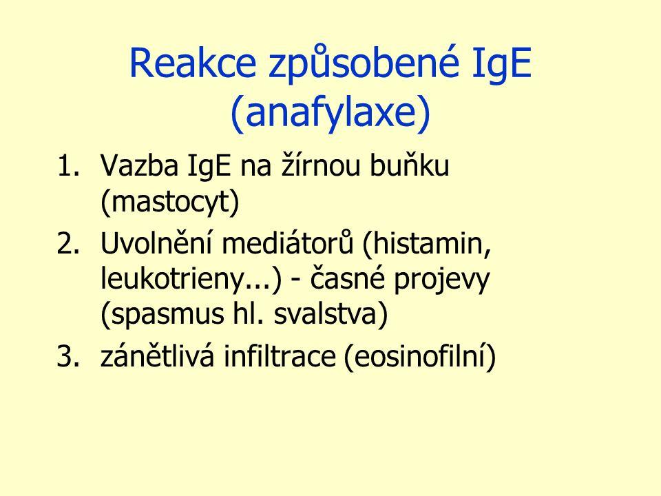 Reakce způsobené IgE (anafylaxe) 1.Vazba IgE na žírnou buňku (mastocyt) 2.Uvolnění mediátorů (histamin, leukotrieny...) - časné projevy (spasmus hl. s