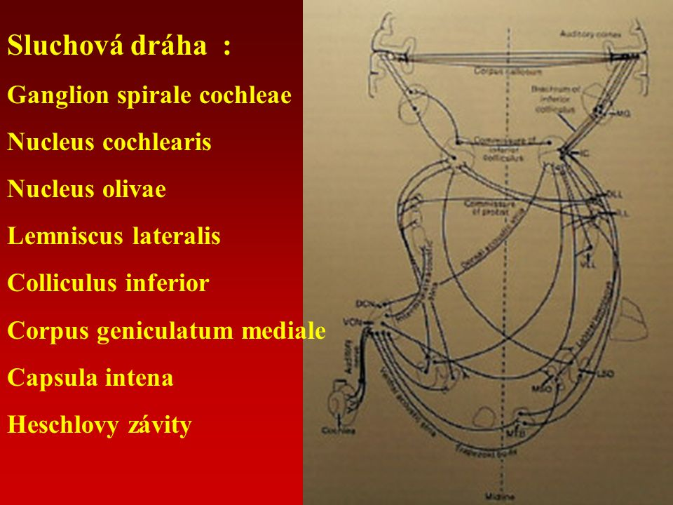 Sluchová dráha : Ganglion spirale cochleae Nucleus cochlearis Nucleus olivae Lemniscus lateralis Colliculus inferior Corpus geniculatum mediale Capsula intena Heschlovy závity