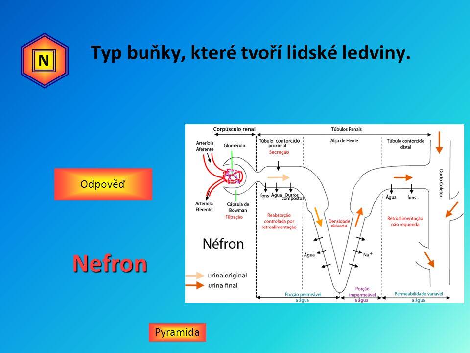 Typ buňky, které tvoří lidské ledviny. Pyramida Odpověď NNefron