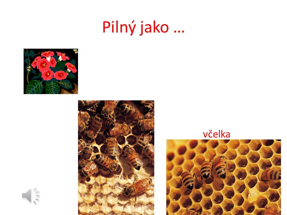 Včelí společenstvo Matka - Úlohou matky je klást vajíčka, aby zabezpečila obnovu včelstva.