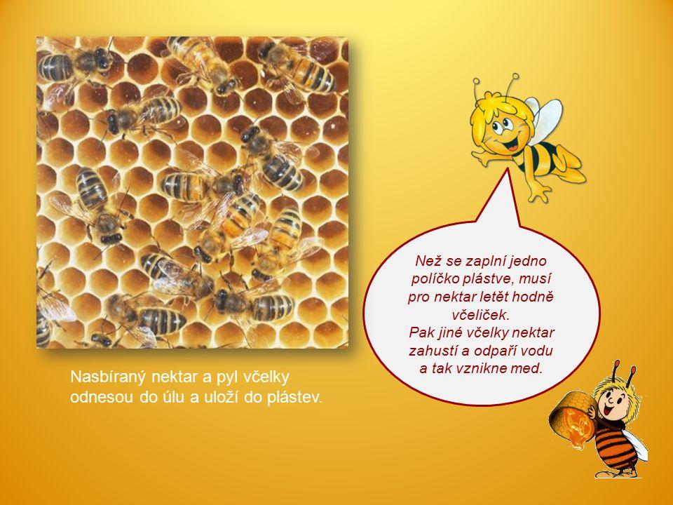 Než se zaplní jedno políčko plástve, musí pro nektar letět hodně včeliček. Pak jiné včelky nektar zahustí a odpaří vodu a tak vznikne med. Nasbíraný n