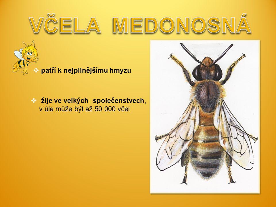  patří k nejpilnějšímu hmyzu  žije ve velkých společenstvech, v úle může být až 50 000 včel