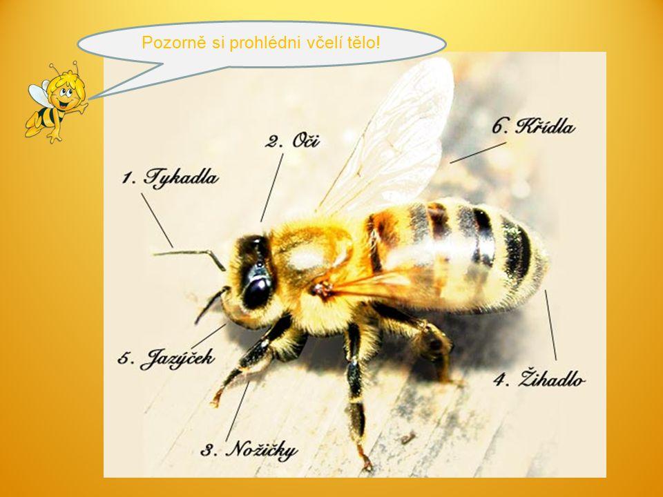 Pozorně si prohlédni včelí tělo!