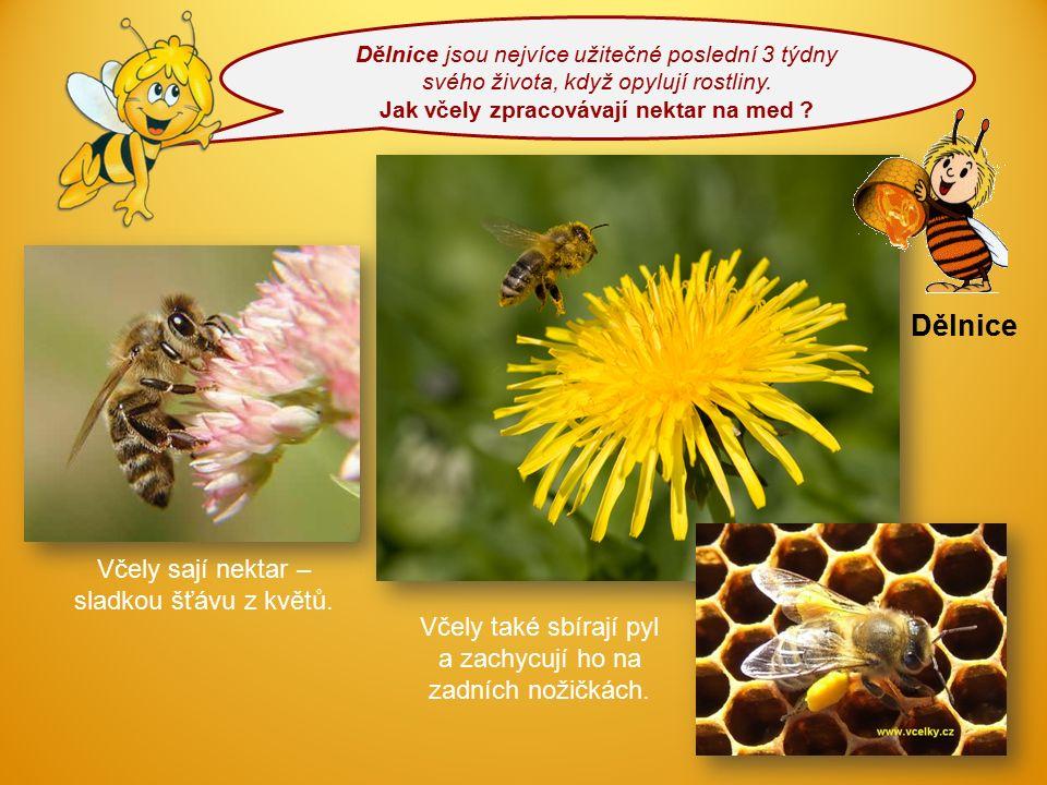 Dělnice jsou nejvíce užitečné poslední 3 týdny svého života, když opylují rostliny. Jak včely zpracovávají nektar na med ? Dělnice Včely sají nektar –