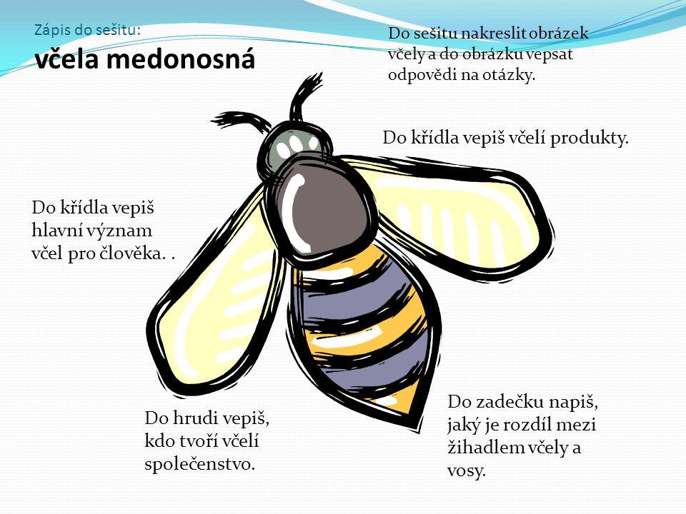 Zápis do sešitu: včela medonosná Do zadečku napiš, jaký je rozdíl mezi žihadlem včely a vosy.