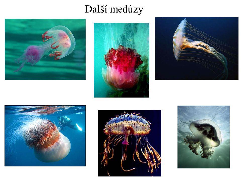 měchýřovka portugalská Zajímavost mezi medúzami: nejedná se o jednoho živočicha, ale o skupinu organismů, které dohromady tvoří tělo medúzy.