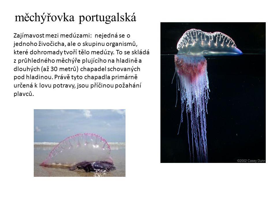 měchýřovka portugalská Zajímavost mezi medúzami: nejedná se o jednoho živočicha, ale o skupinu organismů, které dohromady tvoří tělo medúzy. To se skl
