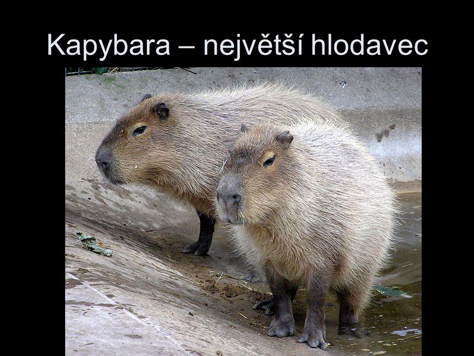 Kapybara – největší hlodavec