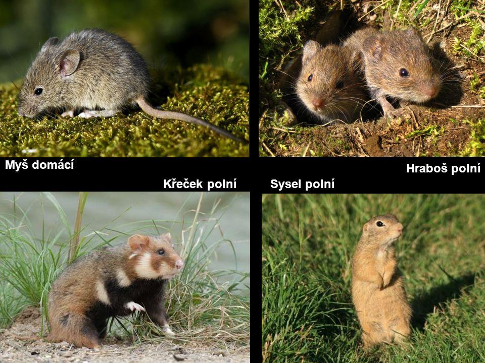 Myš domácí Křeček polníSysel polní Hraboš polní