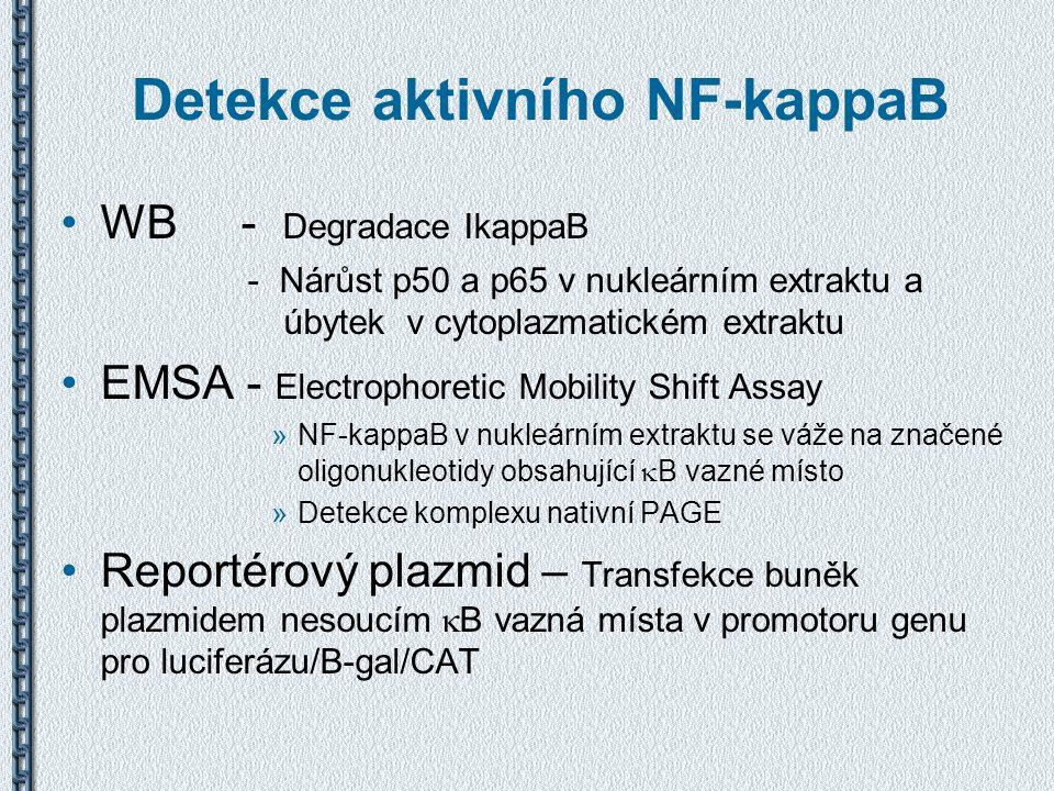 Detekce aktivního NF-kappaB WB - Degradace IkappaB - Nárůst p50 a p65 v nukleárním extraktu a úbytek v cytoplazmatickém extraktu EMSA - Electrophoreti