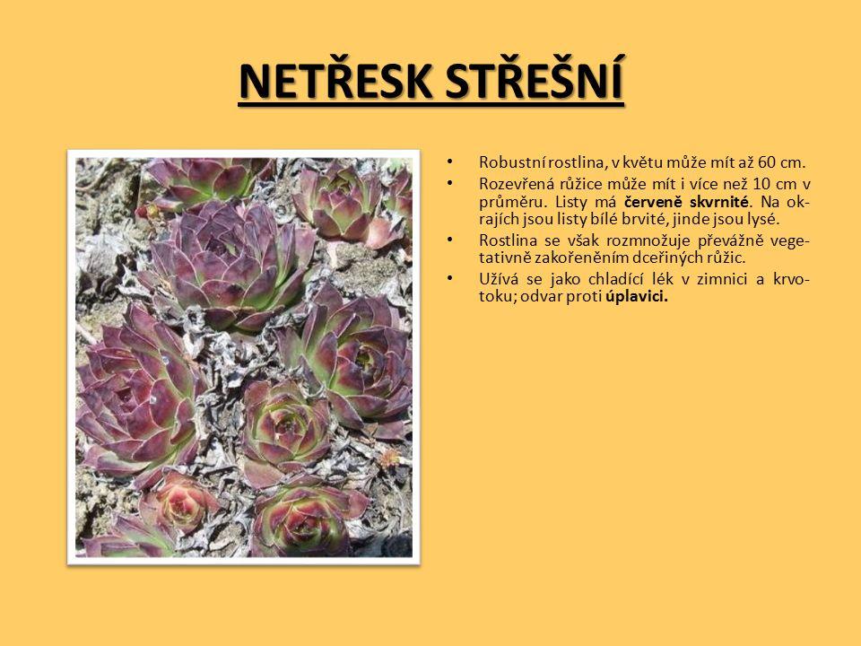 NETŘESK STŘEŠNÍ Robustní rostlina, v květu může mít až 60 cm.
