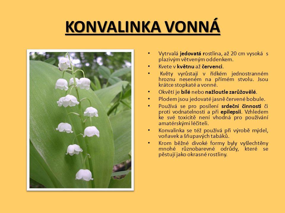 KONVALINKA VONNÁ Vytrvalá jedovatá rostlina, až 20 cm vysoká s plazivým větveným oddenkem.
