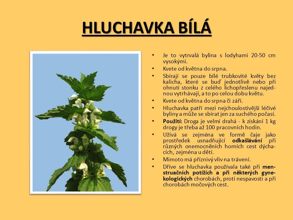 HLUCHAVKA BÍLÁ Je to vytrvalá bylina s lodyhami 20-50 cm vysokými.