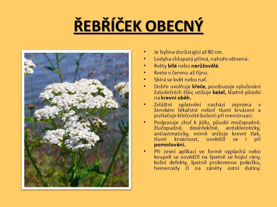 ŘEBŘÍČEK OBECNÝ Je bylina dorůstající až 80 cm. Lodyha chlupatá přímá, nahoře větvená.