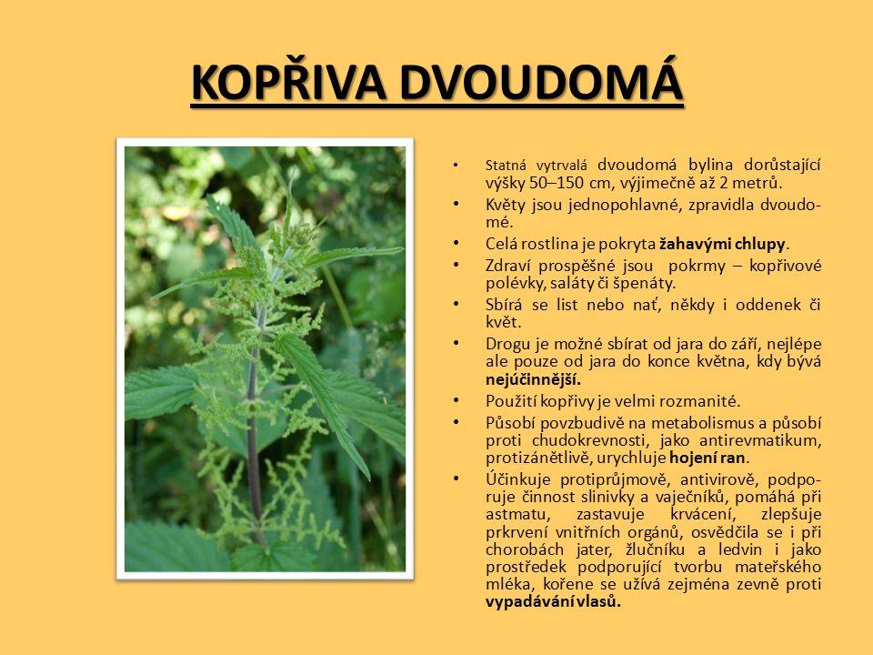 KOPŘIVA DVOUDOMÁ Statná vytrvalá dvoudomá bylina dorůstající výšky 50–150 cm, výjimečně až 2 metrů.