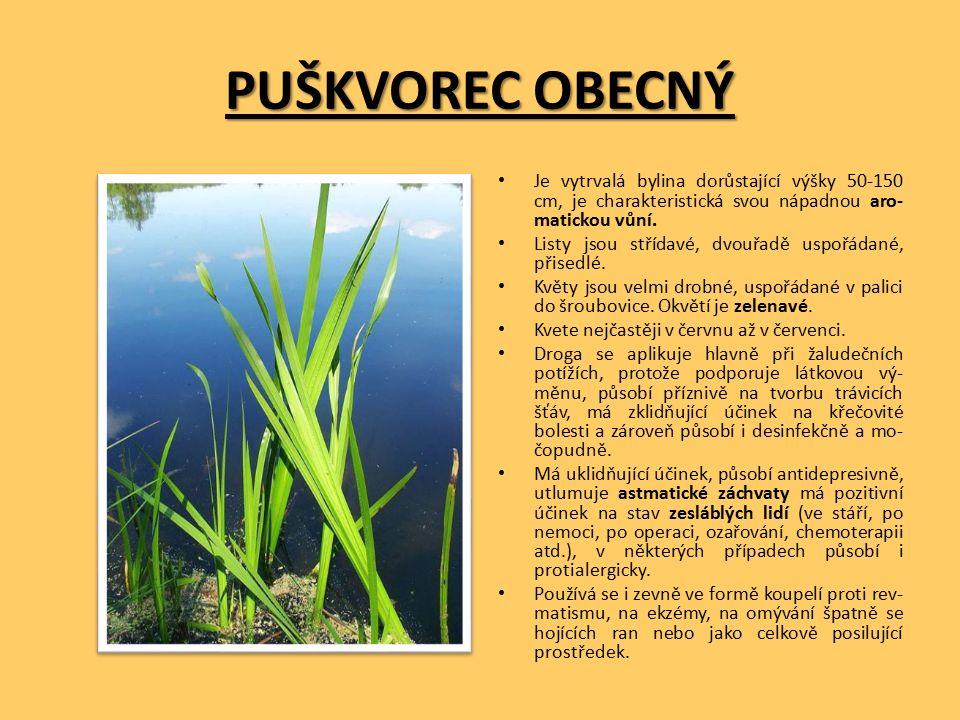 PUŠKVOREC OBECNÝ Je vytrvalá bylina dorůstající výšky 50-150 cm, je charakteristická svou nápadnou aro- matickou vůní.