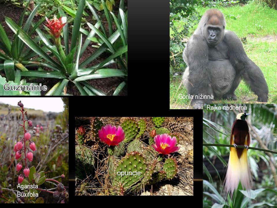 Gorila nížinná Rajka nádherná Agarista Buxifolia opuncie