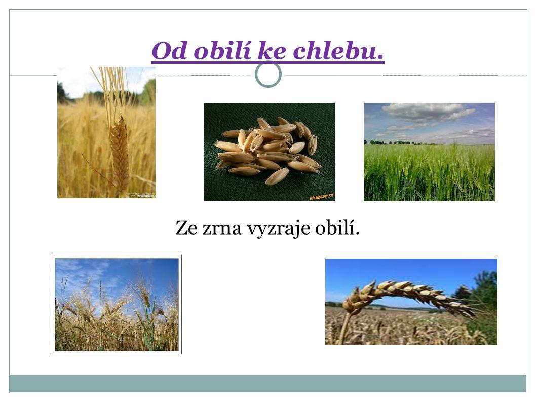 Ze zrna vyzraje obilí. Od obilí ke chlebu.