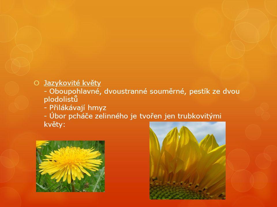  Jazykovité květy - Oboupohlavné, dvoustranné souměrné, pestík ze dvou plodolistů - Přilákávají hmyz - Úbor pcháče zelinného je tvořen jen trubkovitými květy: