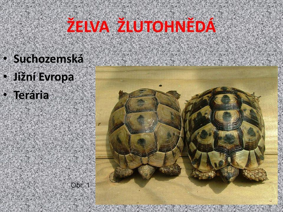 ŽELVA ŽLUTOHNĚDÁ Suchozemská Jižní Evropa Terária Obr. 1