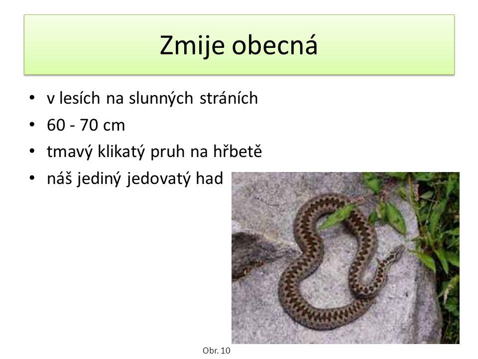 Zmije obecná v lesích na slunných stráních 60 - 70 cm tmavý klikatý pruh na hřbetě náš jediný jedovatý had Obr.