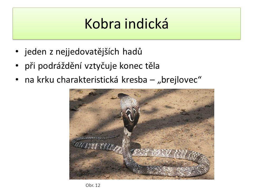 """Kobra indická jeden z nejjedovatějších hadů při podráždění vztyčuje konec těla na krku charakteristická kresba – """"brejlovec Obr."""