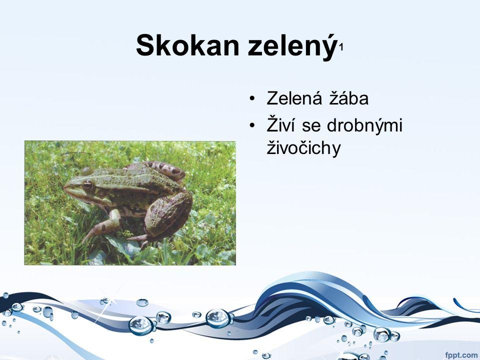 Skokan zelený 1 Zelená žába Živí se drobnými živočichy