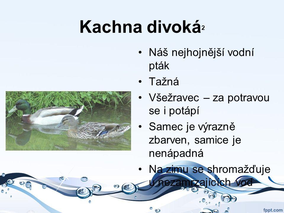 Kachna divoká 2 Náš nejhojnější vodní pták Tažná Všežravec – za potravou se i potápí Samec je výrazně zbarven, samice je nenápadná Na zimu se shromažď