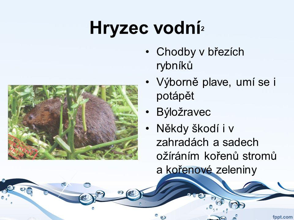 Hryzec vodní 2 Chodby v březích rybníků Výborně plave, umí se i potápět Býložravec Někdy škodí i v zahradách a sadech ožíráním kořenů stromů a kořenov