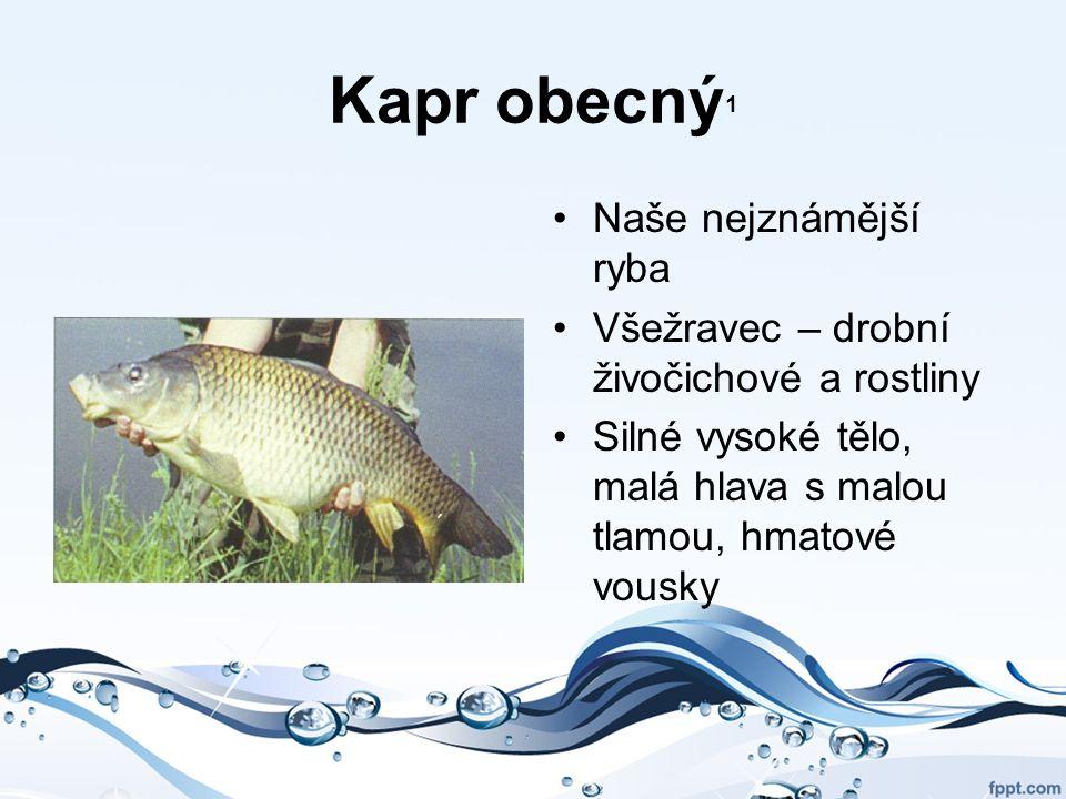 Kapr obecný 1 Naše nejznámější ryba Všežravec – drobní živočichové a rostliny Silné vysoké tělo, malá hlava s malou tlamou, hmatové vousky