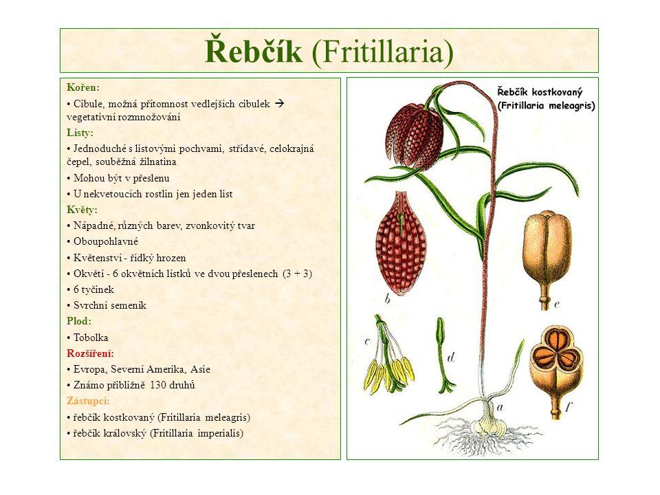 Řebčík (Fritillaria) Kořen: Cibule, možná přítomnost vedlejších cibulek  vegetativní rozmnožování Listy: Jednoduché s listovými pochvami, střídavé, celokrajná čepel, souběžná žilnatina Mohou být v přeslenu U nekvetoucích rostlin jen jeden list Květy: Nápadné, různých barev, zvonkovitý tvar Oboupohlavné Květenství - řídký hrozen Okvětí - 6 okvětních lístků ve dvou přeslenech (3 + 3) 6 tyčinek Svrchní semeník Plod: Tobolka Rozšíření: Evropa, Severní Amerika, Asie Známo přibližně 130 druhů Zástupci: řebčík kostkovaný (Fritillaria meleagris) řebčík královský (Fritillaria imperialis)