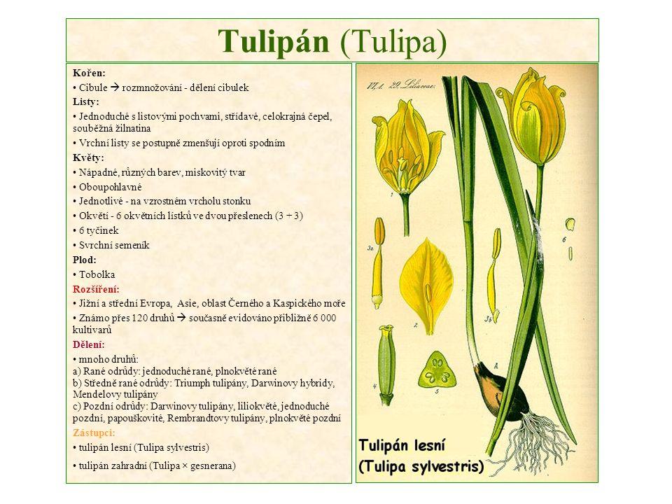 Tulipán (Tulipa) Kořen: Cibule  rozmnožování - dělení cibulek Listy: Jednoduché s listovými pochvami, střídavé, celokrajná čepel, souběžná žilnatina Vrchní listy se postupně zmenšují oproti spodním Květy: Nápadné, různých barev, miskovitý tvar Oboupohlavné Jednotlivé - na vzrostném vrcholu stonku Okvětí - 6 okvětních lístků ve dvou přeslenech (3 + 3) 6 tyčinek Svrchní semeník Plod: Tobolka Rozšíření: Jižní a střední Evropa, Asie, oblast Černého a Kaspického moře Známo přes 120 druhů  současně evidováno přibližně 6 000 kultivarů Dělení: mnoho druhů: a) Rané odrůdy: jednoduché rané, plnokvěté rané b) Středně rané odrůdy: Triumph tulipány, Darwinovy hybridy, Mendelovy tulipány c) Pozdní odrůdy: Darwinovy tulipány, liliokvěté, jednoduché pozdní, papouškovité, Rembrandtovy tulipány, plnokvěté pozdní Zástupci: tulipán lesní (Tulipa sylvestris) tulipán zahradní (Tulipa × gesnerana)