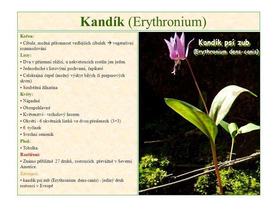 Kandík (Erythronium) Kořen: Cibule, možná přítomnost vedlejších cibulek  vegetativní rozmnožování Listy: Dva v přízemní růžici, u nekvetoucích rostlin jen jeden Jednoduché s listovými pochvami, řapíkaté Celokrajná čepel (možný výskyt bílých či purpurových skvrn) Souběžná žilnatina Květy: Nápadné Oboupohlavné Květenství - vrcholový hrozen Okvětí - 6 okvětních lístků ve dvou přeslenech (3+3) 6 tyčinek Svrchní semeník Plod: Tobolka Rozšíření: Známo přibližně 27 druhů, rostoucích převážně v Severní Americe.