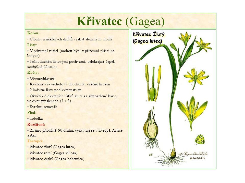 Křivatec (Gagea) Kořen: Cibule, u některých druhů výskyt složených cibulí Listy: V přízemní růžici (mohou být i v přízemní růžici na lodyze) Jednoduché s listovými pochvami, celokrajná čepel, souběžná žilnatina Květy: Oboupohlavné Květenství - vrcholový chocholík, vzácně hrozen 2 lodyžní listy pod květenstvím Okvětí - 6 okvětních lístků žluté až žlutozelené barvy ve dvou přeslenech (3 + 3) Svrchní semeník Plod: Tobolka Rozšíření: Známo přibližně 90 druhů, vyskytují se v Evropě, Africe a Asii Zástupci: křivatec žlutý (Gagea lutea) křivatec rolní (Gagea villosa) křivatec český (Gagea bohemica)